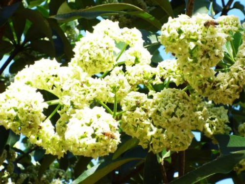 Fleurs sữa à Hanoï