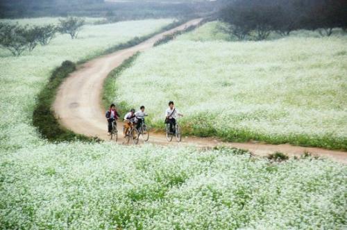 Fleurs blanches de sénevés à Moc Chau