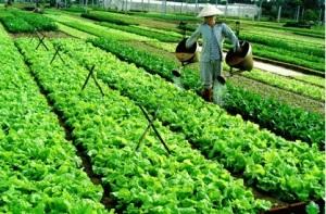 le village de légumes Tra Que