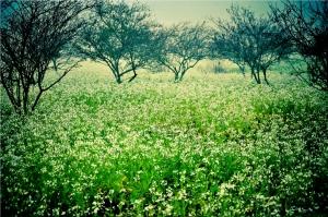 La saison de floraison à Moc Chau