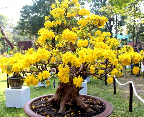 Le symbole du t t au sud du vietnam la fleur d for Taille de l abricotier