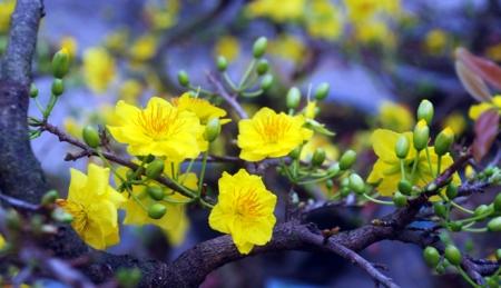 fleur-d'abricotier