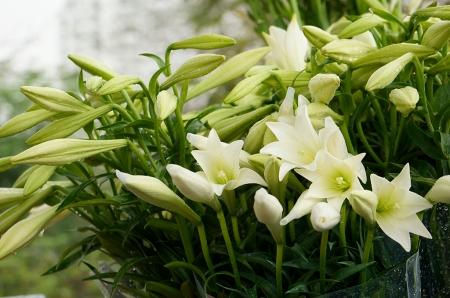 lys-blanc2