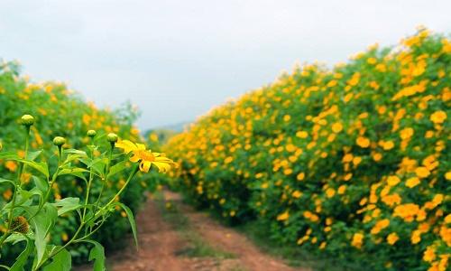 fleur de tournesol sauvage