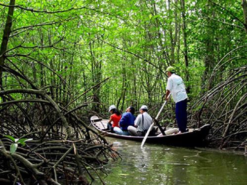 mangrove can gio